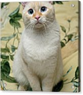Flame Point Siamese Cat Acrylic Print by Amy Cicconi
