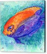 Flameback Angelfish Acrylic Print