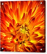 Flaming Dahlia - Paintography Acrylic Print