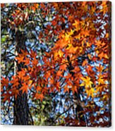 Flaming Maple Beneath The Pines Acrylic Print