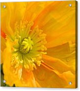 Flaming Yellow Poppy  Acrylic Print