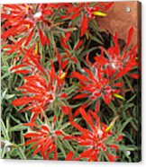 Flaming Zion Paintbrush Wildflowers Acrylic Print