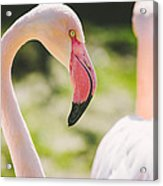 Flamingo Bird Portrait. Acrylic Print