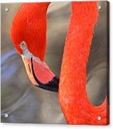 Flamingo Curves Acrylic Print