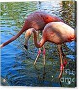Flamingo Duo Acrylic Print