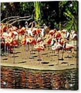 Flamingo Family Reunion Acrylic Print