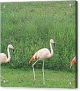 Flamingo March Acrylic Print