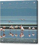 Flamingo On Lake Nakuru Acrylic Print