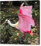 Roseate Spoonbil Acrylic Print