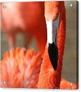 Flamingo Pose Acrylic Print