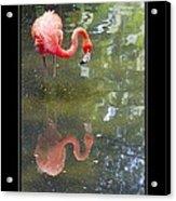 Flamingo Reflected Acrylic Print