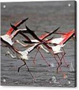 Flamingoes In Flight Acrylic Print