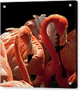 Flamingoes Acrylic Print