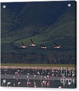 Flamingos  #6590 Acrylic Print