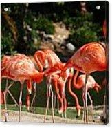 Flamingos Acrylic Print