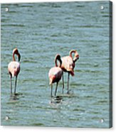 Flamingos Gathering Together Acrylic Print
