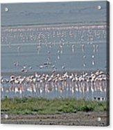 Flamingos On Lake Magadi Acrylic Print