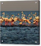 Flamingos On Lake Turkana Outside Elyse Acrylic Print