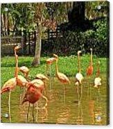 Flamingos Wading Acrylic Print