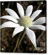 Flannel Flower Acrylic Print