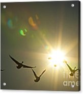 Flare Or Fowl Acrylic Print