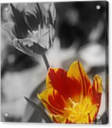 Flashy Tulips Acrylic Print