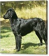 Flat-coated Retriever Dog Acrylic Print