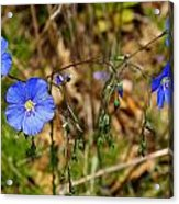 Flax Flower At The Chambers Island Lighthouse  Acrylic Print