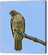 Fledged Red Tailed Hawk Acrylic Print