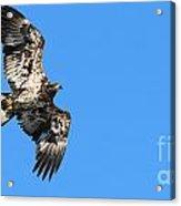Fledgling Bald Eagle 5078 Acrylic Print