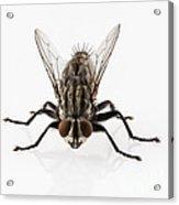Flesh Fly Isolated Acrylic Print