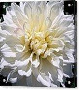 Fleurel Dahlia Acrylic Print