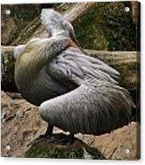 Pelican Grace Acrylic Print