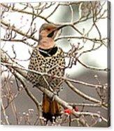 Flicker - Alabama State Bird - Attention Acrylic Print