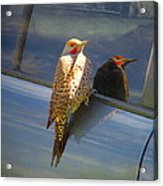 Yellow Shafted Northern Flicker Hanging Around Acrylic Print