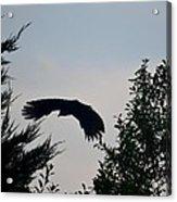 Flight Of The Black Crow Acrylic Print