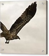 Flight Of The Brown Kite V7 Acrylic Print