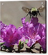 Flight Of The Bumble Bee Acrylic Print