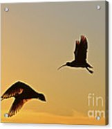 Flight Of The Curlews Acrylic Print