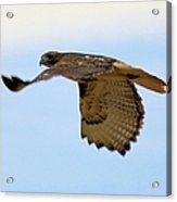 Flight Of The Hawk Acrylic Print