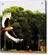 Flight Of The Jabiru V2 Acrylic Print