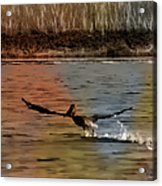 Flight Of The Pelican-featured In Wildlife-newbies And Comfortable Art Groups Acrylic Print