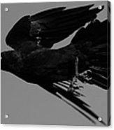 Flight Of The Raven Acrylic Print