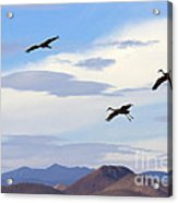 Flight Of The Sandhill Cranes Acrylic Print by Mike  Dawson