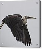 Flight Of The White Necked Heron Acrylic Print
