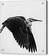 Flight Of The White Necked Heron V2 Acrylic Print