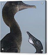 Flightless Cormorant And Chick Galapagos Acrylic Print