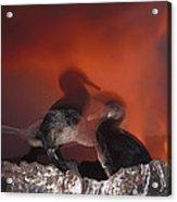 Flightless Cormorants And Volcanic Acrylic Print