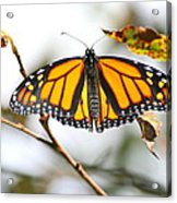 Flirting Monarch Acrylic Print
