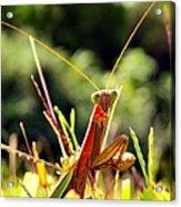 Flirty Mantis Acrylic Print